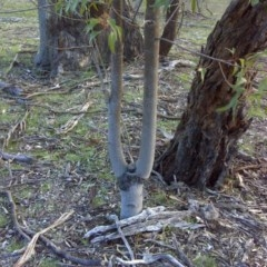 Brachychiton populneus subsp. populneus (Kurrajong) at Mount Mugga Mugga - 31 Jul 2016 by Mike