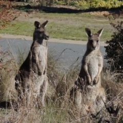 Macropus giganteus (Eastern Grey Kangaroo) at Conder, ACT - 3 Aug 2016 by michaelb