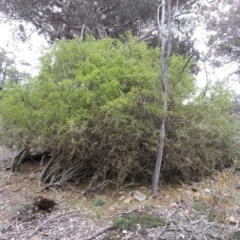 Lycium ferocissimum (African Boxthorn) at Mount Ainslie - 7 Aug 2016 by waltraud