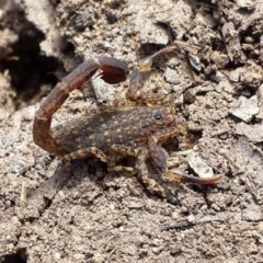 Lychas marmoreus (Marbled Scorpion) at Black Mountain - 31 Oct 2015 by MattM