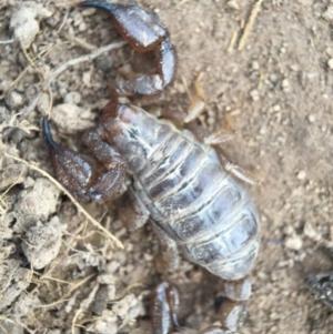 Urodacus manicatus at Aranda Bushland - 14 Feb 2016