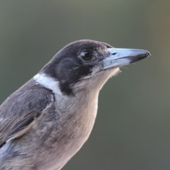 Cracticus torquatus (Grey Butcherbird) at Merimbula, NSW - 24 Dec 2015 by Leo