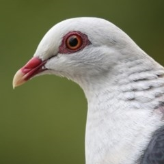Columba leucomela (White-headed Pigeon) at Merimbula, NSW - 6 Jan 2016 by Leo