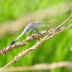 Orthetrum caledonicum (Blue Skimmer) at Gilmore, ACT - 13 Jan 2016 by RyuCallaway
