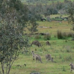 Macropus giganteus (Eastern Grey Kangaroo) at Namadgi National Park - 27 Nov 2007 by galah681
