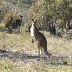 Macropus giganteus (Eastern Grey Kangaroo) at Mount Taylor - 29 Sep 2009 by galah681