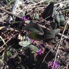 Hardenbergia violacea at Gossan Hill - 11 Aug 2016