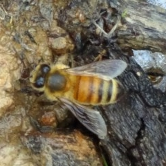 Apis mellifera (European honey bee) at Sth Tablelands Ecosystem Park - 25 Feb 2015 by galah681
