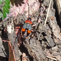 Dindymus versicolor (Harlequin bug) at Tidbinbilla Nature Reserve - 6 Dec 2013 by galah681