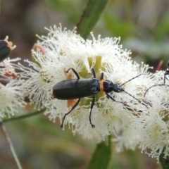 Chauliognathus lugubris (Plague soldier beetle) at Conder, ACT - 10 Feb 2013 by michaelb