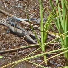 Orthetrum caledonicum (Blue Skimmer) at Tidbinbilla Nature Reserve - 4 Feb 2012 by galah681