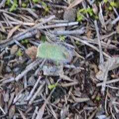 Caladenia sp. at Mount Majura - 15 Aug 2016 by petersan