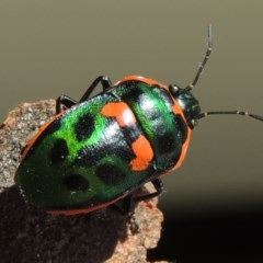 Scutiphora pedicellata (Metallic Jewel Bug) at Conder, ACT - 6 Jan 2016 by michaelb