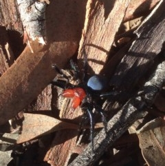 Missulena occatoria (Red-headed Mouse Spider) at Black Mountain - 8 Aug 2016 by JoshMulvaney