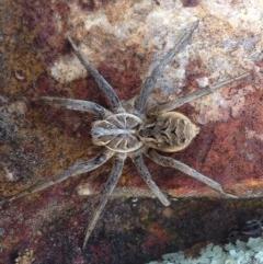 Tasmanicosa godeffroyi (Garden Wolf Spider) at Jerrabomberra, ACT - 16 Aug 2016 by JoshMulvaney