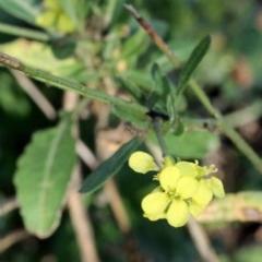 Hirschfeldia incana (Buchan Weed, Yellow Turnip Weed, Hairy Brassica) at Bruce Ridge - 6 Jun 2016 by PeteWoodall