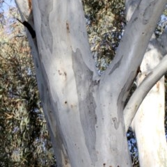 Eucalyptus mannifera (Brittle Gum) at Bruce Ridge - 6 Jun 2016 by PeteWoodall