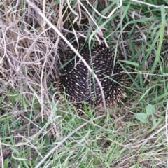 Tachyglossus aculeatus (Short-beaked Echidna) at Coombs, ACT - 17 Aug 2016 by RichardMilner