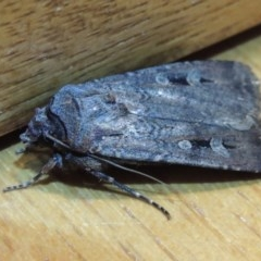 Agrotis infusa (Bogong Moth, Common Cutworm) at Conder, ACT - 26 Oct 2015 by michaelb