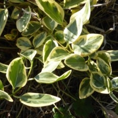 Vinca major (Greater Periwinkle) at Isaacs Ridge and Nearby - 19 Aug 2016 by Mike