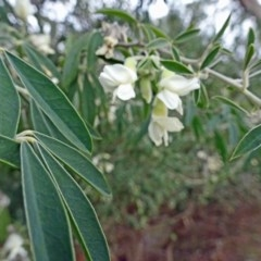 Chamaecytisus palmensis (Tagasaste, Tree Lucerne) at Tidbinbilla Nature Reserve - 20 Aug 2016 by galah681