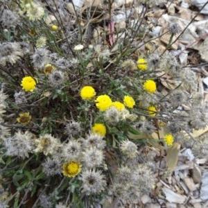 Coronidium gunnianum at Sth Tablelands Ecosystem Park - 19 May 2016