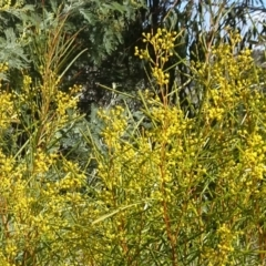 Acacia boormanii at Sth Tablelands Ecosystem Park - 18 Aug 2016