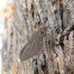 Ephemeroptera sp. (order) (Unidentified Mayfly) at Conder, ACT - 30 Sep 2015 by michaelb