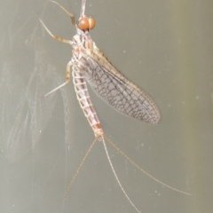 Ephemeroptera sp. (order) (Unidentified Mayfly) at Conder, ACT - 21 Oct 2015 by michaelb