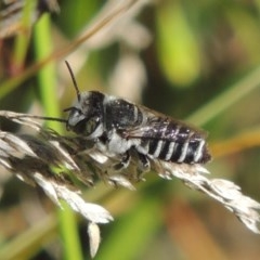 Megachile (Eutricharaea) serricauda (Leafcutter bee, Megachilid bee) at Conder, ACT - 3 Feb 2015 by michaelb