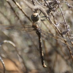 Anax papuensis (Australian Emperor) at Red Hill Nature Reserve - 19 Aug 2016 by roymcd
