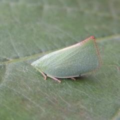 Siphanta acuta (Green planthopper, Torpedo bug) at Conder, ACT - 25 Apr 2014 by michaelb