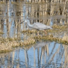 Egretta novaehollandiae (White-faced Heron) at Jerrabomberra Wetlands - 26 Aug 2016 by Mike