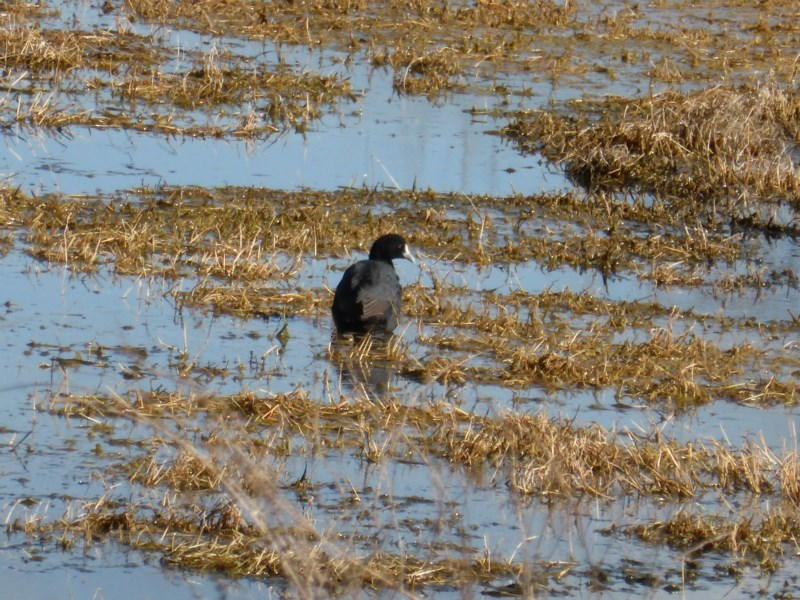 Fulica atra at Jerrabomberra Wetlands - 26 Aug 2016