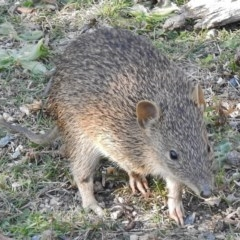 Isoodon obesulus (Southern Brown Bandicoot) at Tidbinbilla Nature Reserve - 13 Apr 2016 by JohnBundock