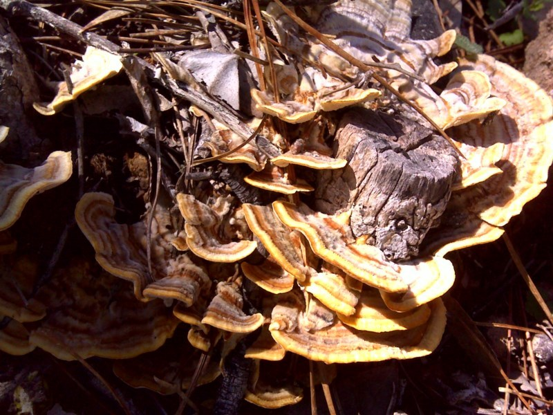 Trametes versicolor at Isaacs Ridge and Nearby - 26 Aug 2016