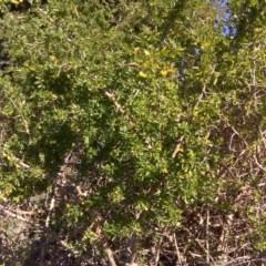 Lycium ferocissimum (African Boxthorn) at Jerrabomberra Wetlands - 26 Aug 2016 by Mike