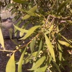 Acacia melanoxylon (Blackwood) at Jerrabomberra, ACT - 30 Aug 2016 by Mike