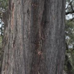 Eucalyptus macrorhyncha (A Red Stringybark) at Black Mountain - 5 Jun 2016 by PeteWoodall