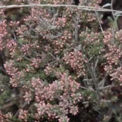 Leucopogon attenuatus (Small leaved beard heath) at Black Mountain - 5 Jun 2016 by PeteWoodall