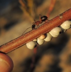 Camponotus nigriceps (Black-headed sugar ant) at Gigerline Nature Reserve - 6 Aug 2014 by michaelb