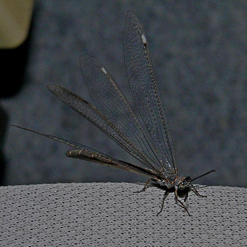 MYRMELEONTIDAE at Brogo, NSW - 27 Feb 2006
