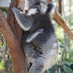 Phascolarctos cinereus (Koala) at Tidbinbilla Nature Reserve - 25 Jul 2016 by roymcd