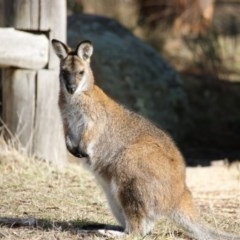 Macropus rufogriseus (Red-necked Wallaby) at Namadgi National Park - 3 Aug 2016 by roymcd