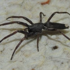 Lampona cylindrata (White-tailed spider) at Conder, ACT - 28 Nov 2015 by michaelb