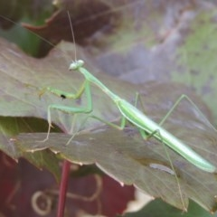 Pseudomantis albofimbriata (False garden mantis) at Conder, ACT - 23 Apr 2014 by michaelb