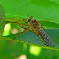 ASILIDAE (family) (Robber fly) at Brogo, NSW - 2 Feb 2007 by MaxCampbell