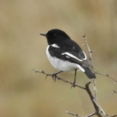 Melanodryas cucullata (Hooded Robin) at Googong Foreshore - 8 Sep 2016 by JohnBundock