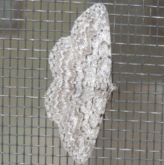 Psilosticha absorpta (Fine-waved Bark Moth) at Conder, ACT - 10 May 2014 by michaelb