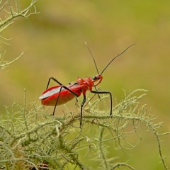 Gminatus australis (Orange assassin bug) at Brogo, NSW - 21 Dec 2006 by MaxCampbell